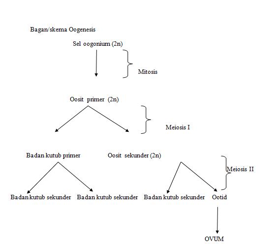 Sistem reproduksi manusia ilmu pengetahuan alam baganskema spermatogenesis skema proses oogenesis gambar struktur sel sperma ccuart Image collections