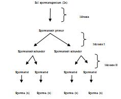 Sistem Reproduksi Manusia | Savingnet .